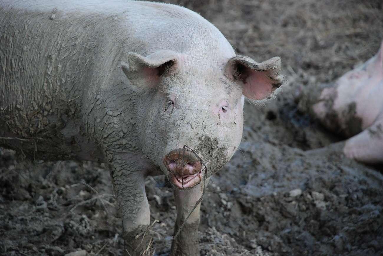 wirus od swin
