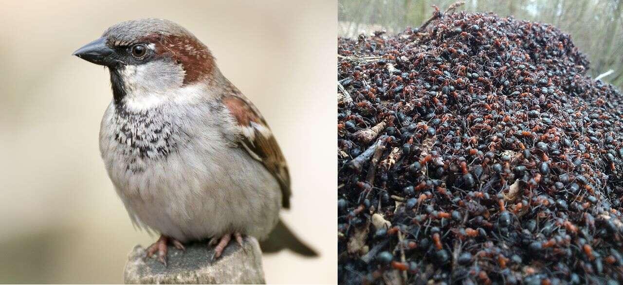ptaki zażywają kąpieli mrówkowej, kąpiel mrówkowa