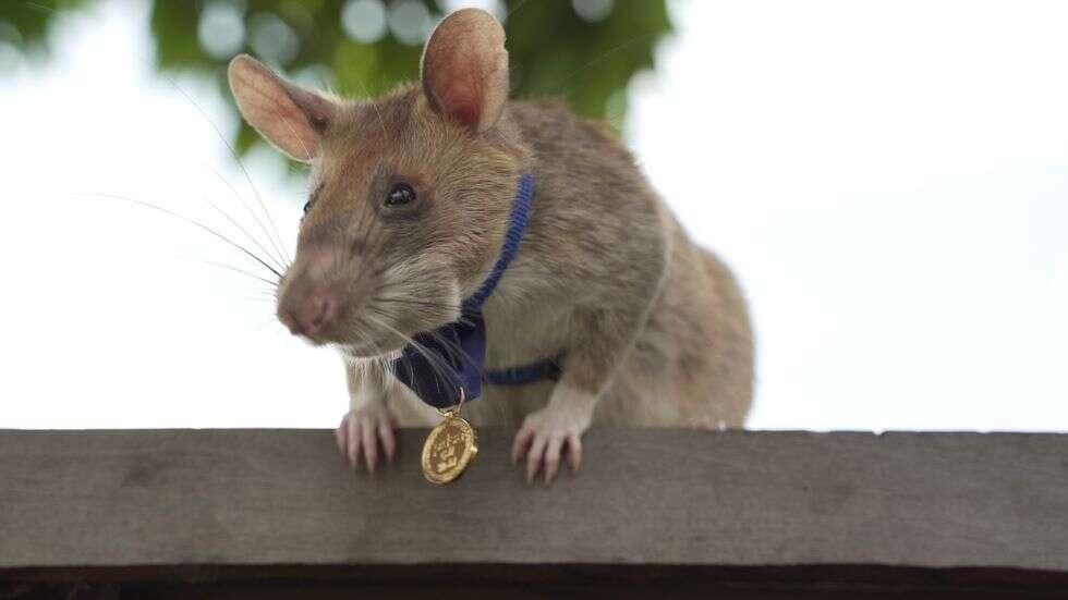 Szczur Magawa już na emeryturze, Szczur Magawa